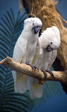 Parrot cockatoo the Goffin Royalty Free Stock Photos