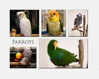 Parrot Collage Royalty Free Stock Images