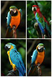 Parrot collection. Compilation of two different kind of parrot Royalty Free Stock Photography