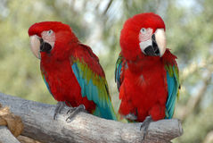 Parrot color Royalty Free Stock Image