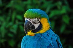 Parrot, Colorful, Plumage, Portrait Stock Photography