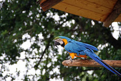 Parrot of Costa Rica Stock Images