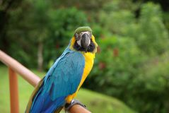 Parrot in Costa Rica. A colorful Parrot in Costa Rica, Central America Stock Image