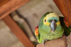 A parrot on a countryhouse in Sao Paulo State, Brazil. A parrot looking down from the top of a pole royalty free stock photo