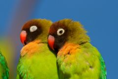 Parrot Couple Royalty Free Stock Photo