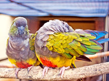 Parrot couple. Couple of bright parrots sitting on a branch Royalty Free Stock Image