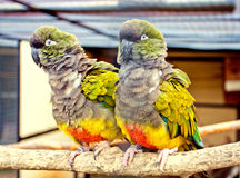 Parrot couple Stock Photography