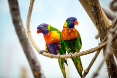 Parrot couple Stock Images