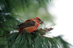 Parrot Crossbill. Eating pine cones on a tree in winter Royalty Free Stock Images