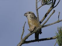 Parrot crossbill Loxia pytyopsittacus. Parrot  crossbill in its natural habitat Royalty Free Stock Photo