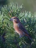 Parrot crossbill Loxia pytyopsittacus Royalty Free Stock Photo