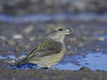 Parrot crossbill Loxia pytyopsittacus Stock Photos