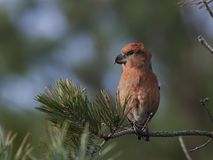Parrot crossbill Loxia pytyopsittacus. Parrot crossbill in its natural habitat Royalty Free Stock Images