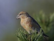 Parrot crossbill Loxia pytyopsittacus. Parrot crossbill in its natural habitat Stock Photo
