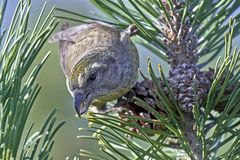 Parrot crossbill Loxia pytyopsittacus. Parrot crossbill in its natural habitat Stock Image