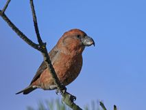 Parrot crossbill Loxia pytyopsittacus Royalty Free Stock Photos