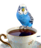 Parrot and cup with tea Stock Photography