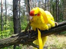 Parrot - Cyanoramphus novaezelandiae royalty free stock photos