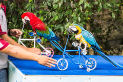 Parrot cycling in Chiangmai Zoo , Thailand Royalty Free Stock Images