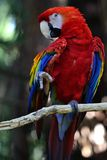 Parrot Dance Royalty Free Stock Images