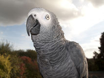 Parrot in Detail Royalty Free Stock Photography