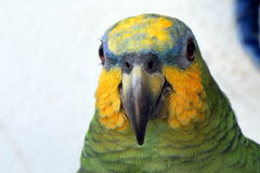Parrot. Domesticated parrot in bright green and yellow. Series taken in natural at different angles and poses Stock Photo