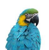 The parrot of Dominican republic Royalty Free Stock Photos