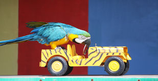 Parrot driving a car. A colorful parrot driving a car whilst performing infront of an audience Stock Image