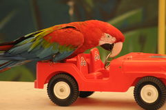 Parrot Driving A Car Royalty Free Stock Image