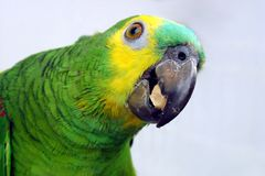 Parrot eating Royalty Free Stock Photos