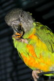 Parrot eating almonds Royalty Free Stock Images