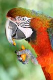 Parrot eating carrot Royalty Free Stock Image