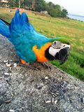 Parrot eating cereal Stock Photography