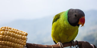 Parrot. Eating corn on a Tree Branch Royalty Free Stock Photos