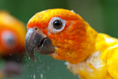 Parrot eating food Stock Photos