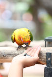 Parrot is eating foods. Stock Photos