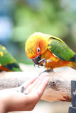 Parrot is eating foods. Stock Photo