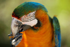 Parrot eating with his paws. Blue and orange parrot eating something, helping itself with his paws and claws Stock Photo