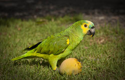 Parrot Eating a Mango. Yellow Fronted Amazon Parrot Eating a Mango Royalty Free Stock Photo