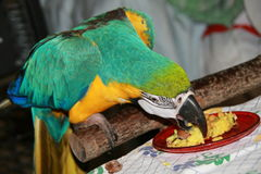 Parrot eating Royalty Free Stock Photography