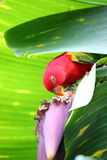 The parrot eating.  (Psittacus torquata) Stock Photo