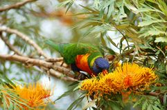 Parrot eating on a tree Royalty Free Stock Images
