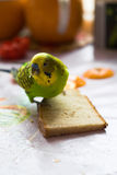 The parrot eats bread. The small budgerigar eats bread royalty free stock images