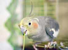 Parrot eats green grass Royalty Free Stock Image
