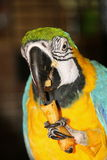 The parrot eats Royalty Free Stock Photo