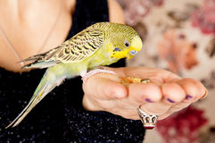 Parrot eats with his hands Stock Photos