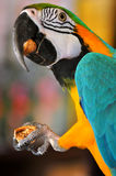 Parrot eats nut. Parrot macaw cracking and eating nut Stock Images