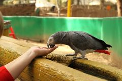Parrot eats seeds from the hands stock image
