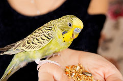 Parrot eats, sitting on a woman's hand Stock Images