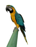 Parrot at the end Royalty Free Stock Photography